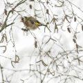 Putter -Carduelis carduelis- bezoekt hier met 45 tegelijk een berkenboom om te foerageren.