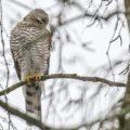Havik (Accipiter gentilis) bezoekt woonwijk: daar is prooi, er worden vogels gevoerd. Eten en gegeten worden: natuurlijke cyclus.