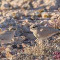 Fuerteventura: eiland van vulkanen & woestijn, wat is hier te zien?  Vogels in februari !!