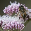 Blinde bij een zweefvliegen soort met opvallend geaderde vleugels.
