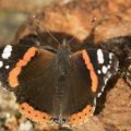 Atalanta vlinder, vliegt nog begin november 2109