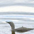 Roodkeelduiker, broedvogel van Scandinavië