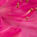 Rododendron, lijnenspel van meeldraden.
