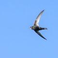Gierzwaluwen uit Havelte 23 juli vertrokken naar Afrika. Keren volgend jaar terug!