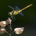 Steenrode heidelibel, vrouwtje geel i.p.v. rood. Tot laat in najaar te zien.
