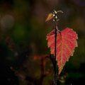 Jong blad zomers gevormd – Sint Janslot – is veelal verrassend gekleurd!
