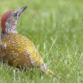 Groene specht, jonge vogel op zoek naar geliefd voedsel: mieren.
