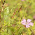 Grote Groene Sabelsprinkhaan, één van de grootste Nederlandse insecten!